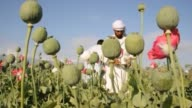 Opium poppy cultivation in Afghanistan is expected to increase for a third straight year says the UN CLEAN Opium cultivation in Afghanistan on April...