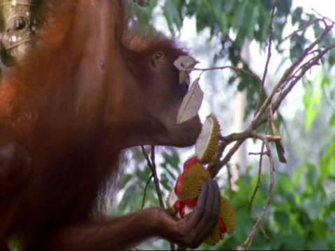 CU Orang utan (Pongo pygmaeus) dangling from branch to reach fruit, Carefully removes case with mouth then eats fruit, climbs back up tree, Malaysia
