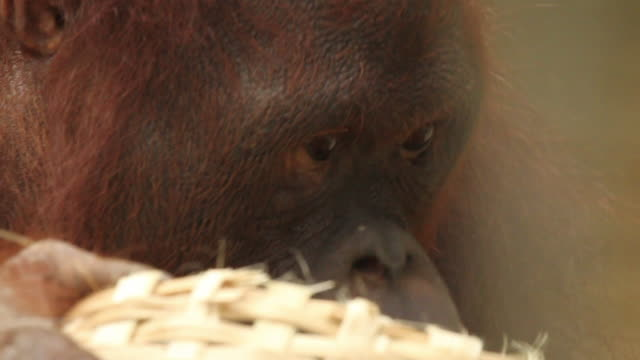 Orang utan feeds on foliage from basket.