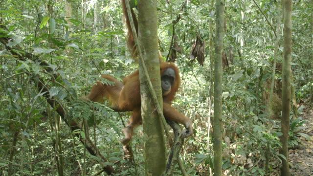 MS Orang utan hanging in tree / Bukit Lawang, North Sumatra, Indonesia