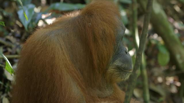 MS Orang utan head turn / Bukit Lawang, North Sumatra, Indonesia