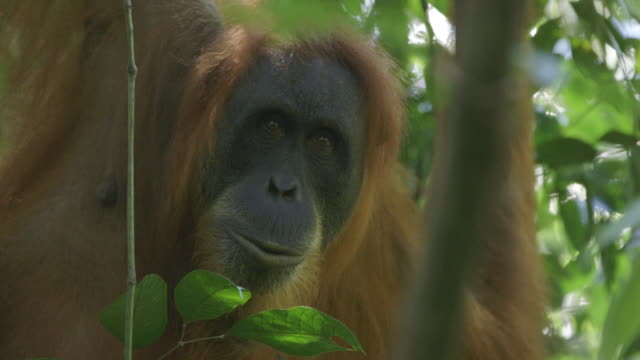 MS Orang utan in tree / Bukit Lawang, North Sumatra, Indonesia