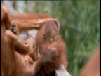 Orang utan lies down and somersaults baby from head to toe, Camp Leakey, Borneo