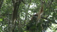 MS Orang utan making nest in tree / Bukit Lawang, North Sumatra, Indonesia