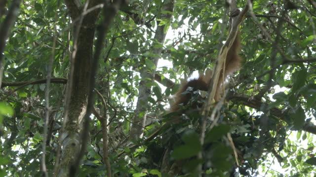 MS Orang utan making nest in tree / Bukit Lawang, North Sumatra, Indonesia