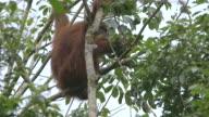 MS Orang utan mother and child eating / Bukit Lawang, North Sumatra, Indonesia
