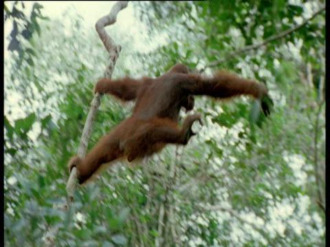 Orang utan swings through trees, Camp Leaky, Borneo
