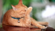 Orange colored cat lick its body to clean itself.