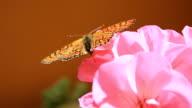 Orange colour butterfly
