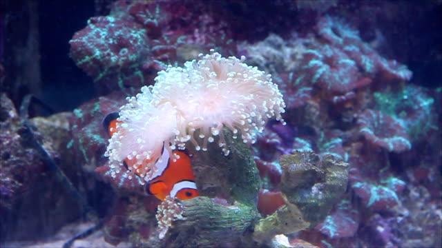 Orange Fisch Nemo ist Gefahr auf der Flucht vor Meer Blumen.