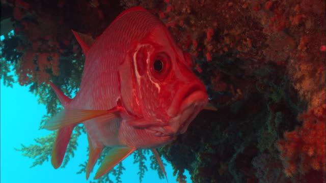 Orange fish, Saudi Arabia, Gulf