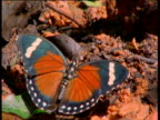 Orange Forester Butterfly on mineral lick.