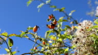 HD orange fruit on rose hip tree