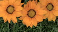 CU Orange gazania with bee / Ludwigsburg, Baden-Wuerttemberg, Germany