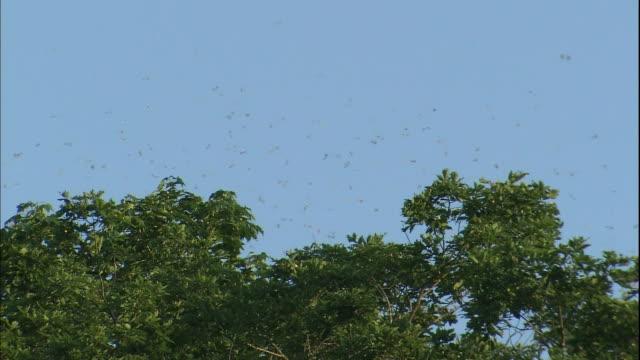 Orange hair streak butterflies swarm over a forest canopy.