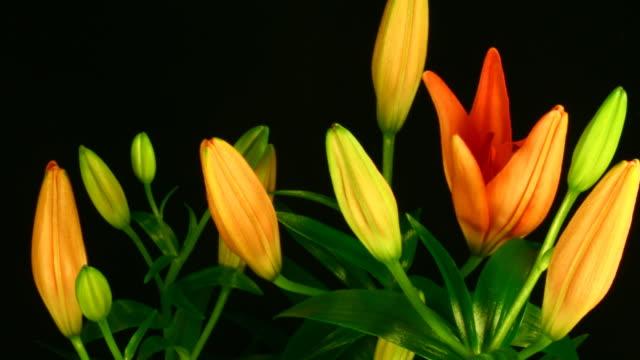 Orange lily flowers blooming