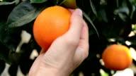 Orange auf dem Ast