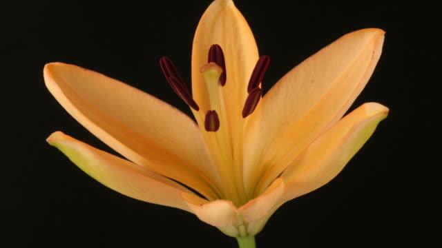 Orange Star Lily closes, black background, timelapse reversed.