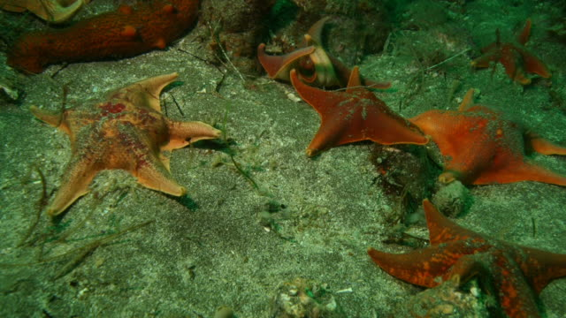 Orange starfish move over a green seabed. Available in HD.