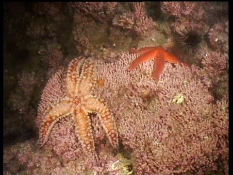 Orange starfish on pink coral, transparent shrimps swim past, Norway
