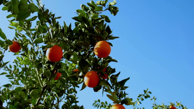 Orange tree branches with appetizing fruits