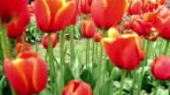 Orange Tulpen - Dolly Schuss