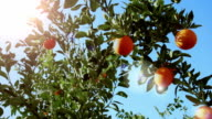 Oranges on tree branches in the sky
