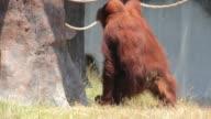 Orangutan at Surabaya Zoo Indonesia