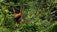 Orangutan climbing along rope