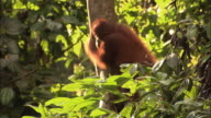 Orangutan climbs down a tree and drinks