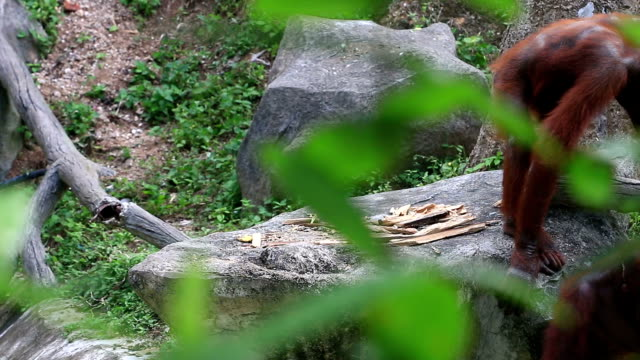 Orangutan grimacing