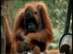 Orangutan holds baby, Camp Leakey, Borneo