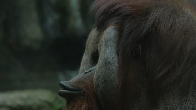 Orangutan in zoo, Thailand