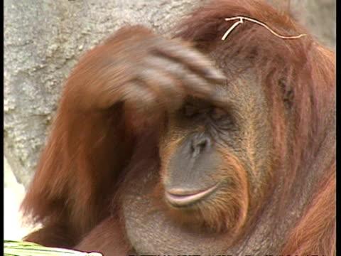 MCU Orangutan pulling faces/sticking tongue out
