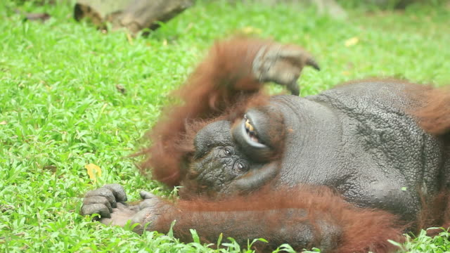 Orangutan scratching on the grass