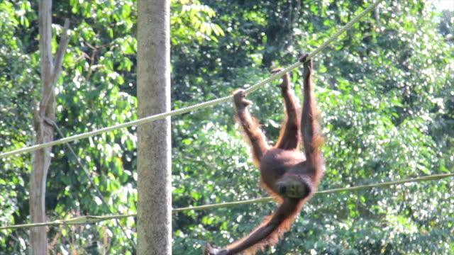 Orangutan Swinging on a Rope, Jungle Setting