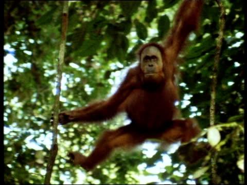 Orangutan swings through trees