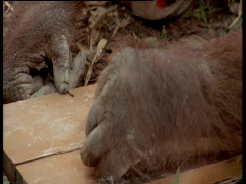 Orangutan tries to hammer nails into wood, Camp Leakey, Borneo