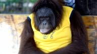 Orangutan.