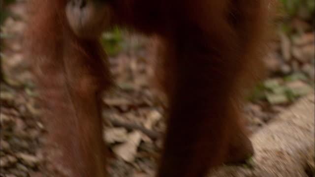 Orangutan walks along a log and approaches a person