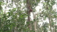 Orangutans hang from branches in Borneo, Malaysia.