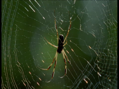 Orb spider clings to web, Florida