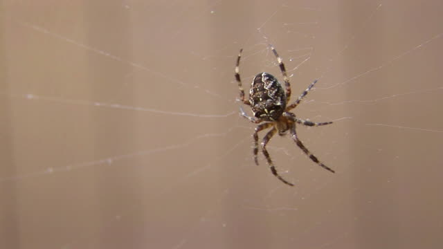 CU, Orb-weaver spiders (family Araneidae) on web