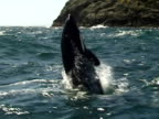 Orca (Orcinus orca) breaching and splashing camera, Bay of islands, New Zealand