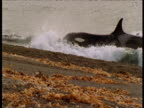 Orca grabs sealion pup from surf, Punte Norte, Argentina