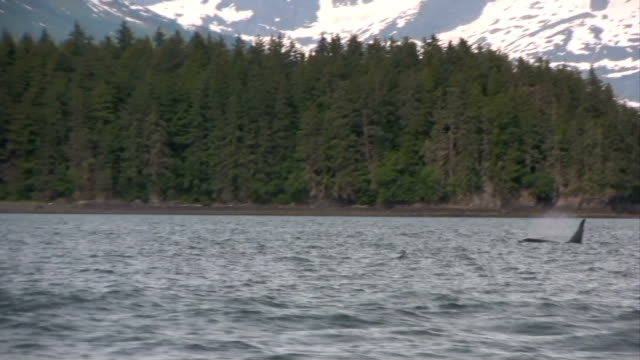 Orca Killer Whale In High Definition Saved At Highest Quality.