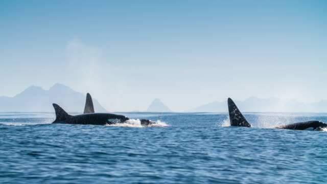 Orca späckhuggare Pod slowmotion