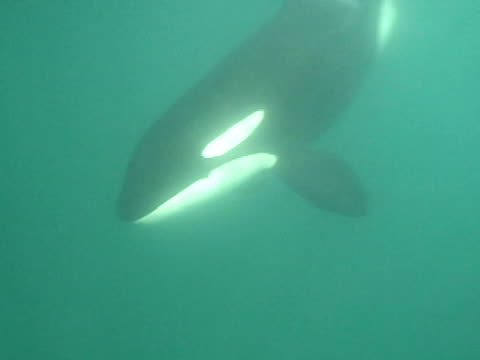 orca swims past camera and under boat