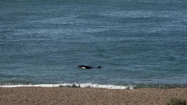 Orcas follow sea lion puppies along the beach in Punta Norte