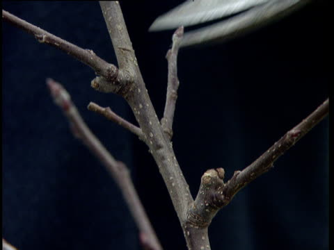 Orchard branch cut by clipper during winter pruning